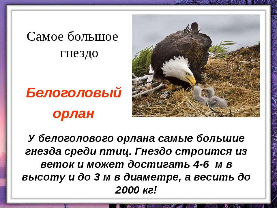 У белоголового орлана самые большие гнезда среди птиц. Гнездо строится из вет...