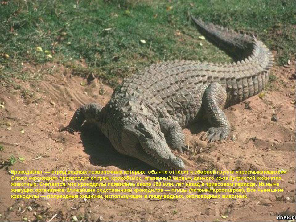Крокоди лы— отряд водных позвоночных,которых обычно относят к сборной групп...