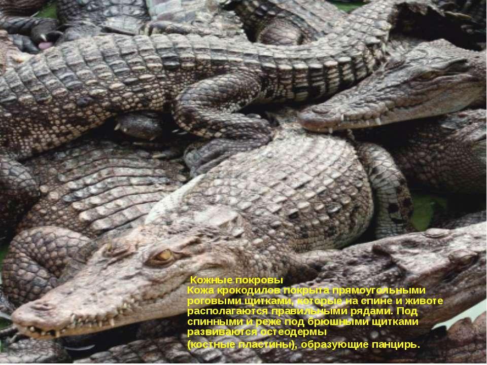 Кожные покровы Кожа крокодилов покрыта прямоугольными роговыми щитками, котор...