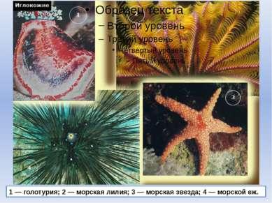 1 — голотурия; 2 — морская лилия; 3 — морская звезда; 4 — морской еж.
