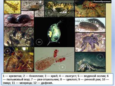 1 — креветка; 2 — бокоплав; 3 — краб; 4 — лангуст; 5 — водяной ослик; 6 — пал...