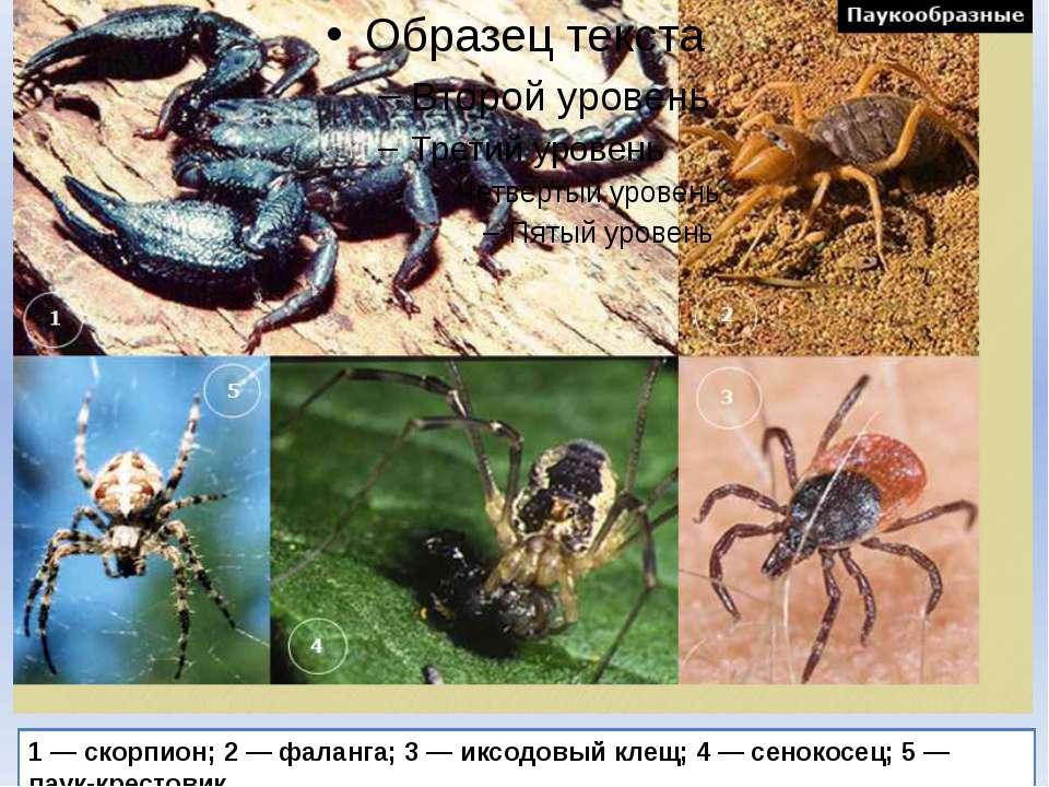 1 — скорпион; 2 — фаланга; 3 — иксодовый клещ; 4 — сенокосец; 5 — паук-кресто...