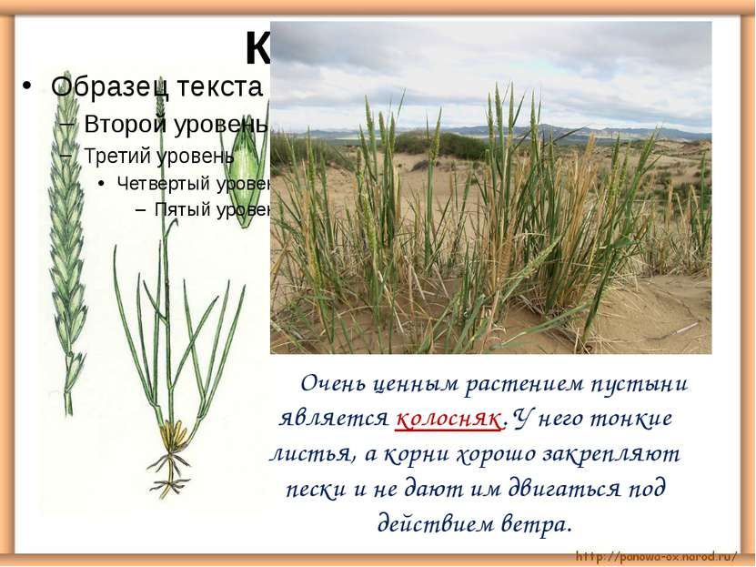 Очень ценным растением пустыни является колосняк. У него тонкие листья, а кор...