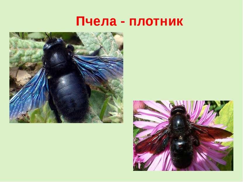Пчела - плотник