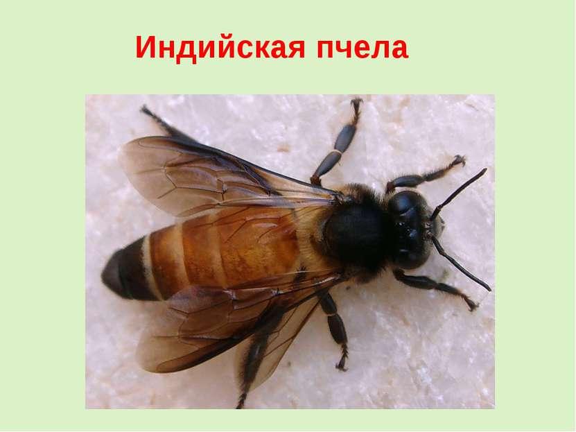 Индийская пчела