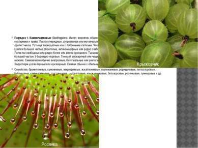 Порядок 1. Камнеломковые(Saxifragales). Имеет, вероятно, общее происхождение...