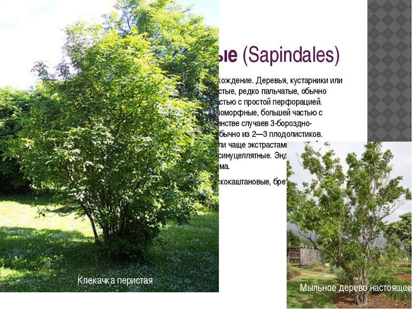 Порядок 9. Сапиндовые(Sapindales) Близок к порядку рутовые и имеет общее с н...
