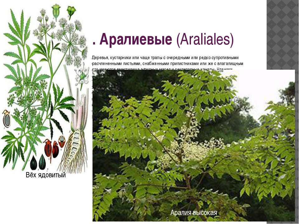 Порядок 13. Аралиевые(Araliales) Очень близок к порядку кизиловых. Деревья, ...