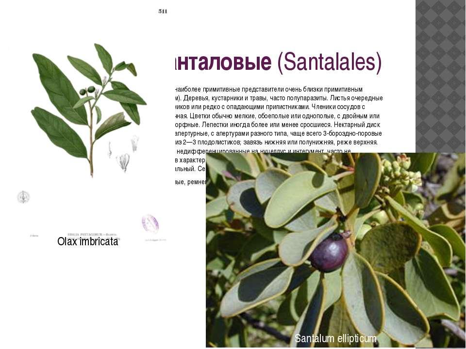 Порядок 15. Санталовые(Santalales) Наиболее близок к порядку бересклетовых и...