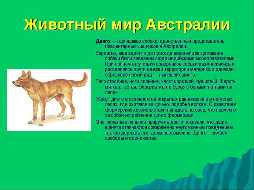 Животный мир Австралии Динго — одичавшая собака, единственный представитель п...