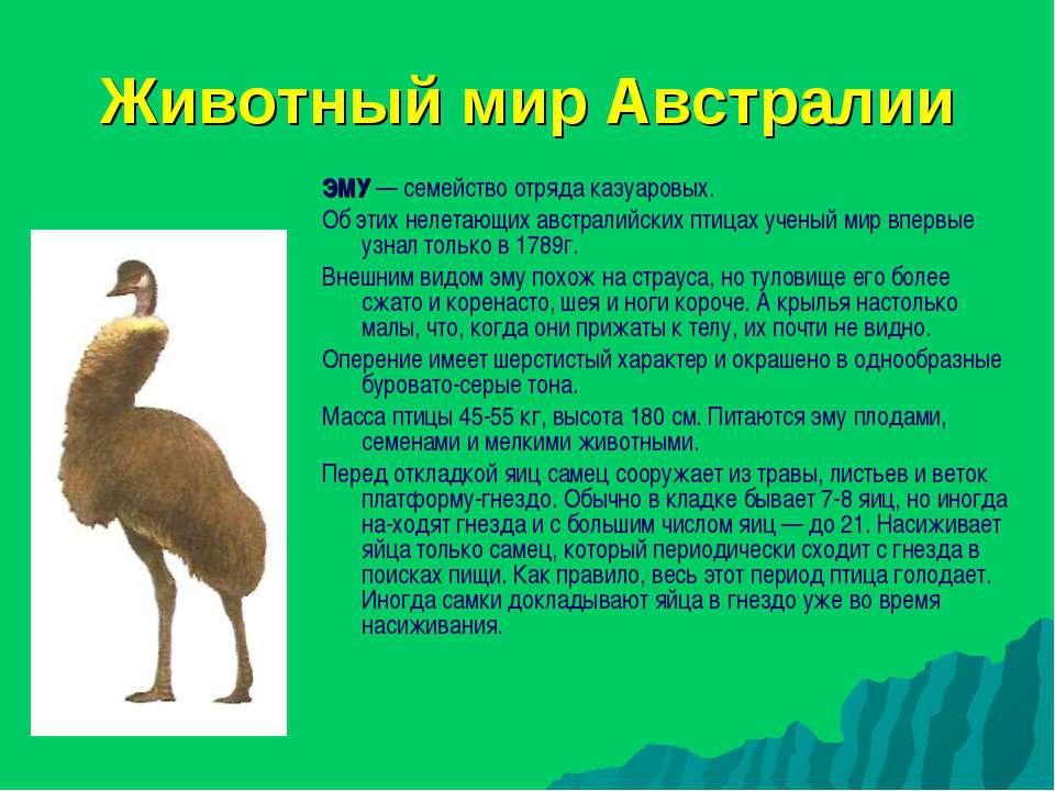 Животный мир Австралии ЭМУ — семейство отряда казуаровых. Об этих нелетающих ...