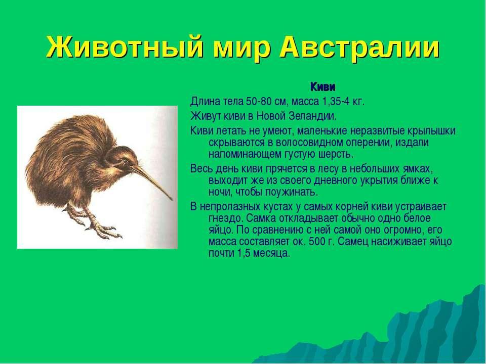 Животный мир Австралии Киви Длина тела 50-80 см, масса 1,35-4 кг. Живут киви ...