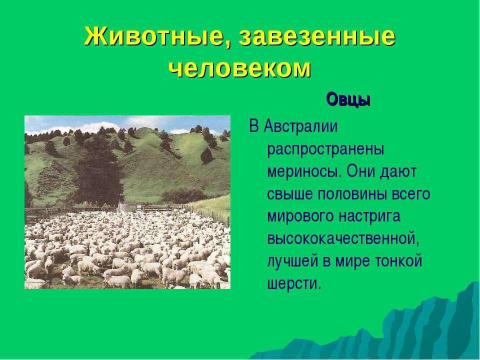 Животные, завезенные человеком Овцы В Австралии распространены мериносы. Они ...