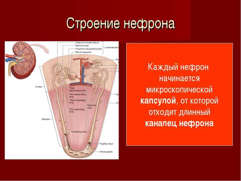 Строение нефрона Каждый нефрон начинается микроскопической капсулой, от котор...