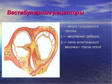 Вестибулярные рецепторы 1 — ампула полукружного протока; 2 — ампулярный гребе...