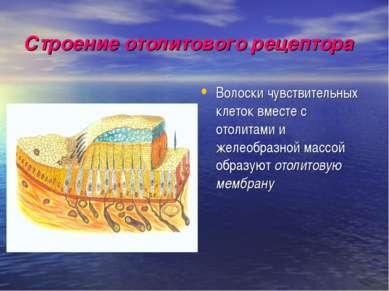 Строение отолитового рецептора Волоски чувствительных клеток вместе с отолита...