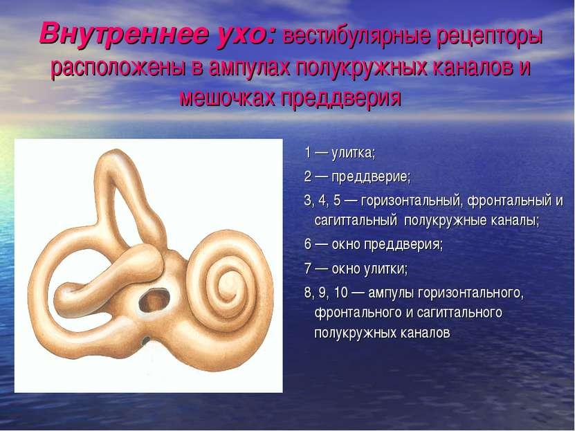 Внутреннее ухо: вестибулярные рецепторы расположены в ампулах полукружных кан...