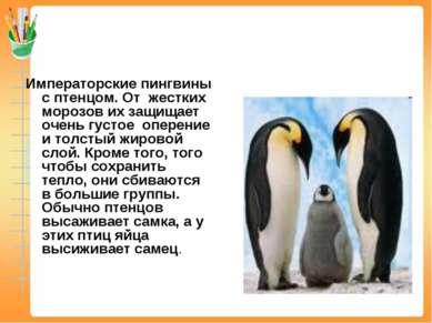 Императорские пингвины с птенцом. От жестких морозов их защищает очень густое...