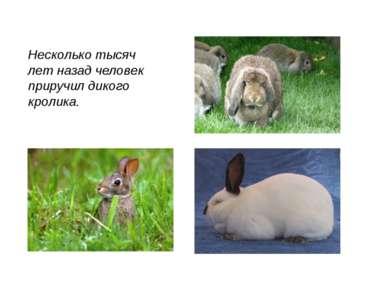 Несколько тысяч лет назад человек приручил дикого кролика.