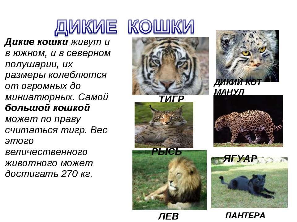 Презентация Дикие и домашние животные класс скачать бесплатно Дикие кошки живут и в южном и в северном полушарии их размеры колеблются от