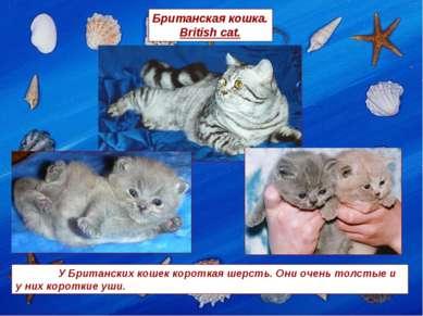 Британская кошка. British cat. У Британских кошек короткая шерсть. Они очень ...