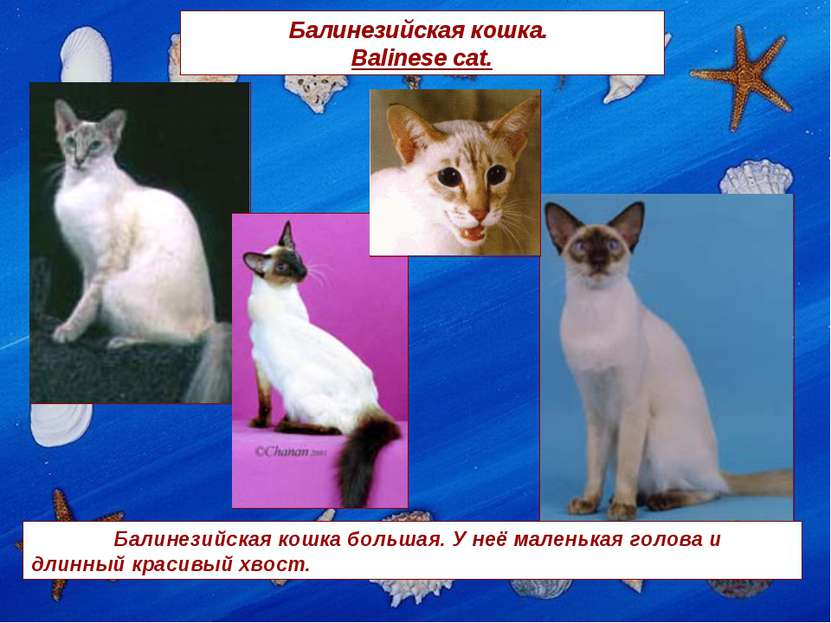Балинезийская кошка. Balinese cat. Балинезийская кошка большая. У неё маленьк...