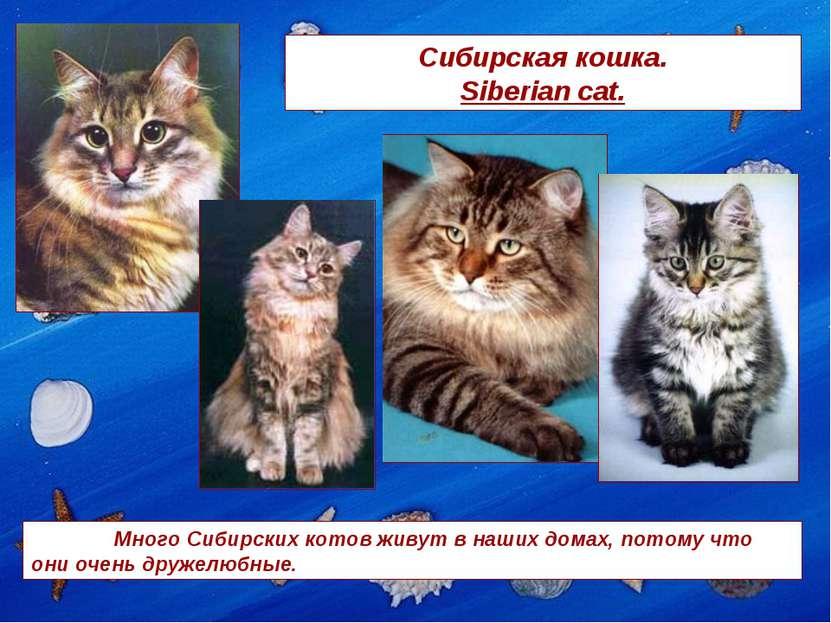 Сибирская кошка. Siberian cat. Много Сибирских котов живут в наших домах, пот...
