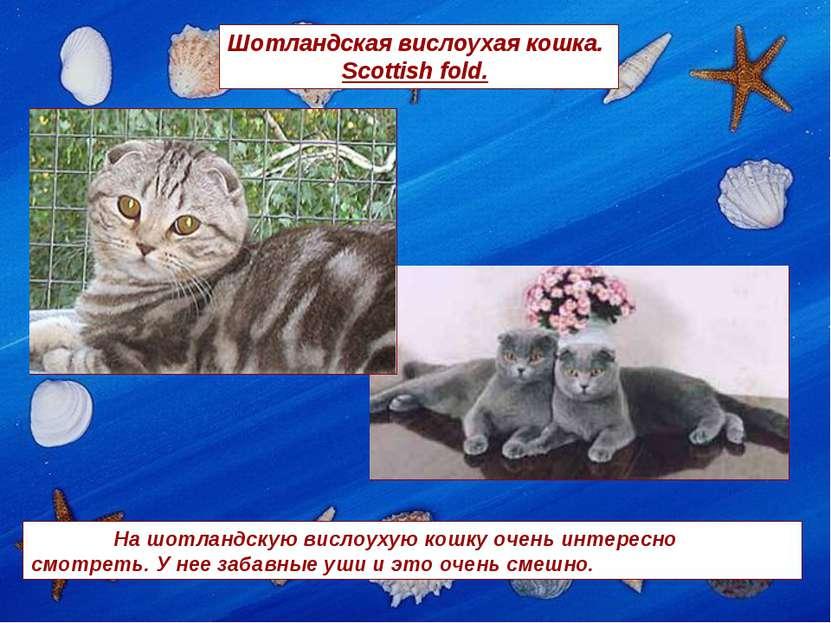 Шотландская вислоухая кошка. Scottish fold. На шотландскую вислоухую кошку оч...