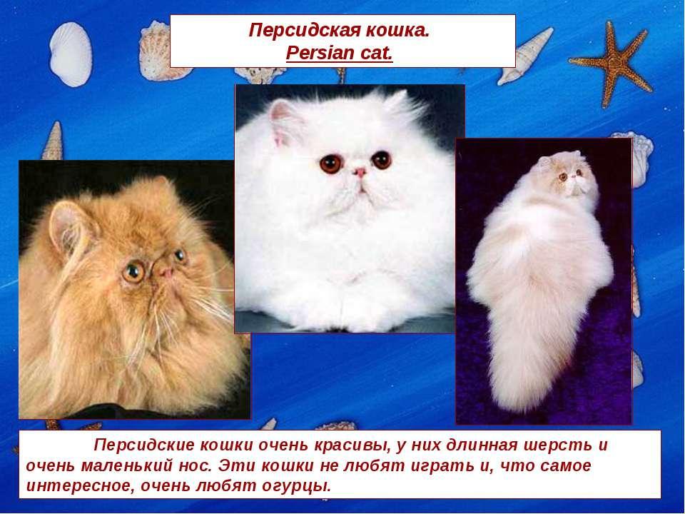 Персидская кошка. Persian cat. Персидские кошки очень красивы, у них длинная ...