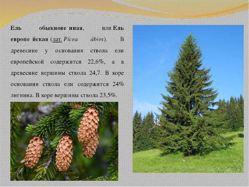 Ель обыкнове нная, илиЕль европе йская(лат.Pícea ábies). В древесине у осн...