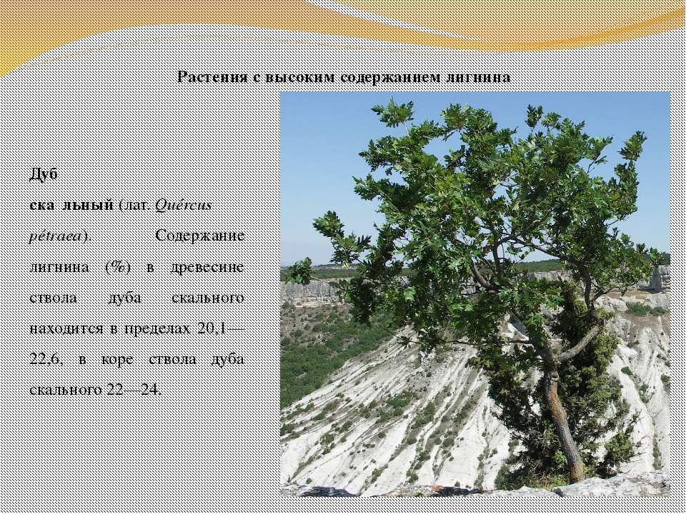 Растения с высоким содержанием лигнина Дуб ска льный(лат.Quércus pétraea). ...