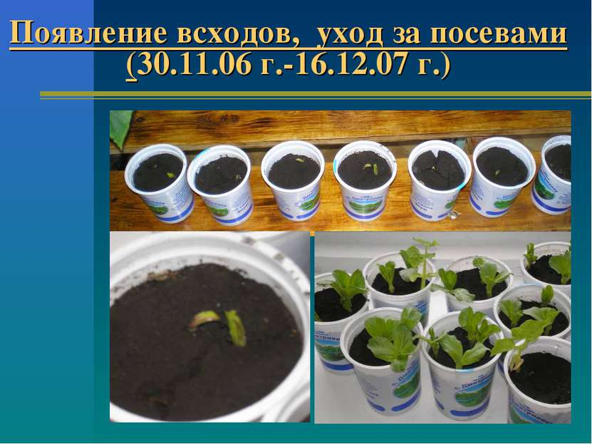 Появление всходов, уход за посевами (30.11.06 г.-16.12.07 г.)