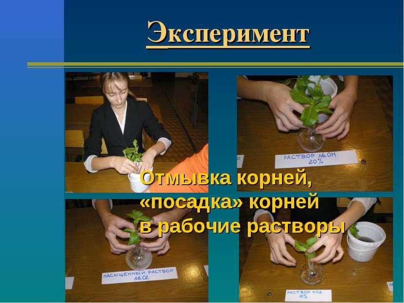 Эксперимент Отмывка корней, «посадка» корней в рабочие растворы