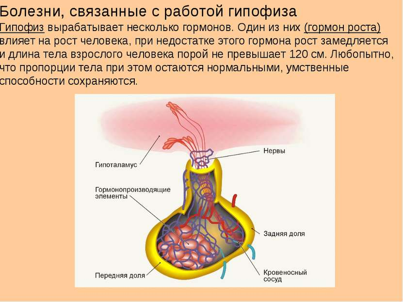 Болезни, связанные с работой гипофиза Гипофиз вырабатывает несколько гормонов...