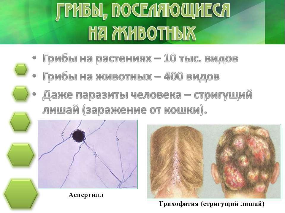 Аспергилл Трихофития (стригущий лишай)