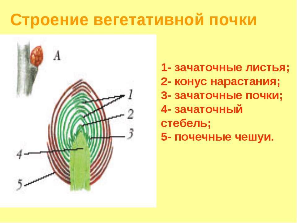 Строение вегетативной почки 1- зачаточные листья; 2- конус нарастания; 3- зач...