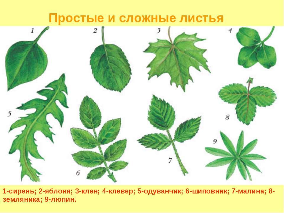 1-сирень; 2-яблоня; 3-клен; 4-клевер; 5-одуванчик; 6-шиповник; 7-малина; 8-зе...