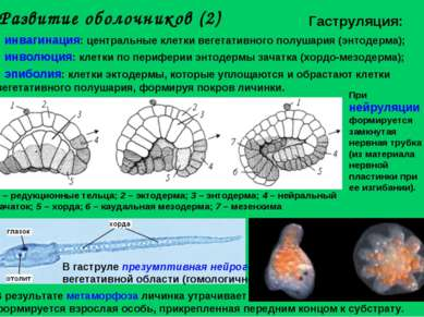 Развитие оболочников (2) инвагинация: центральные клетки вегетативного полуша...