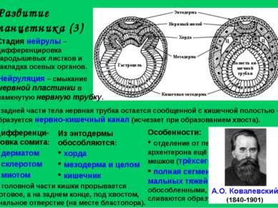 Развитие ланцетника (3) Стадия нейрулы – дифференцировка зародышевых листков ...