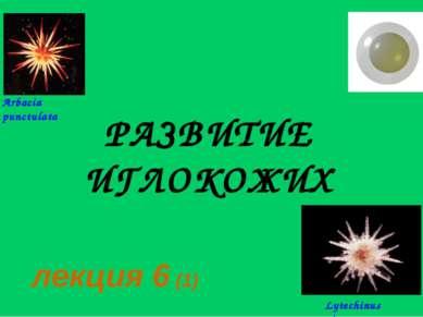 РАЗВИТИЕ ИГЛОКОЖИХ лекция 6 (1) Arbacia punctulata Lytechinus pictus
