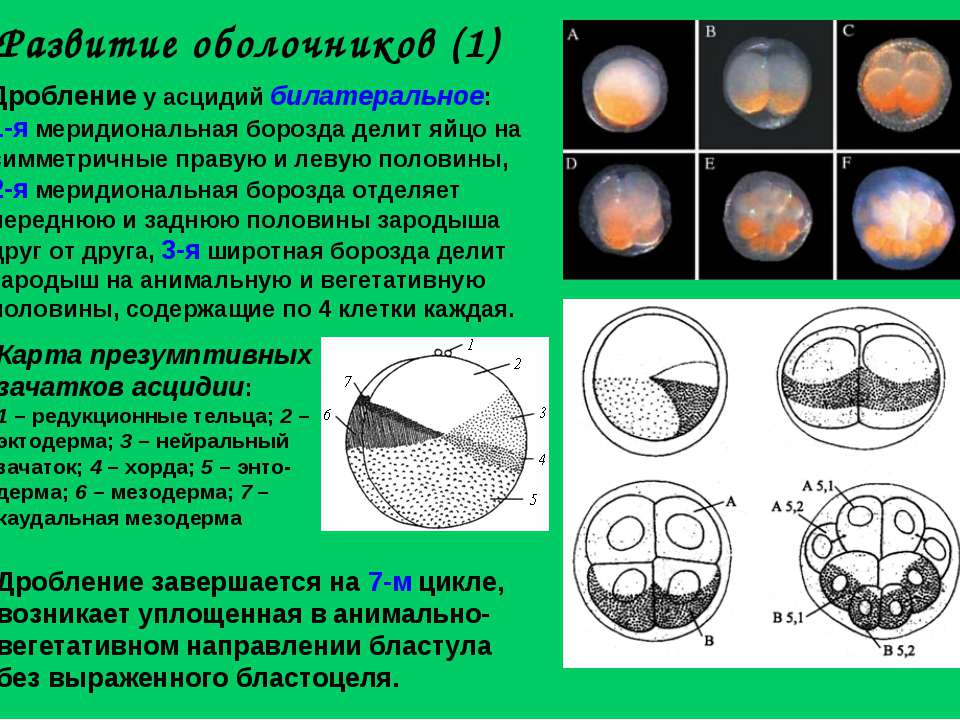 Развитие оболочников (1) Дробление у асцидий билатеральное: 1-я меридиональна...