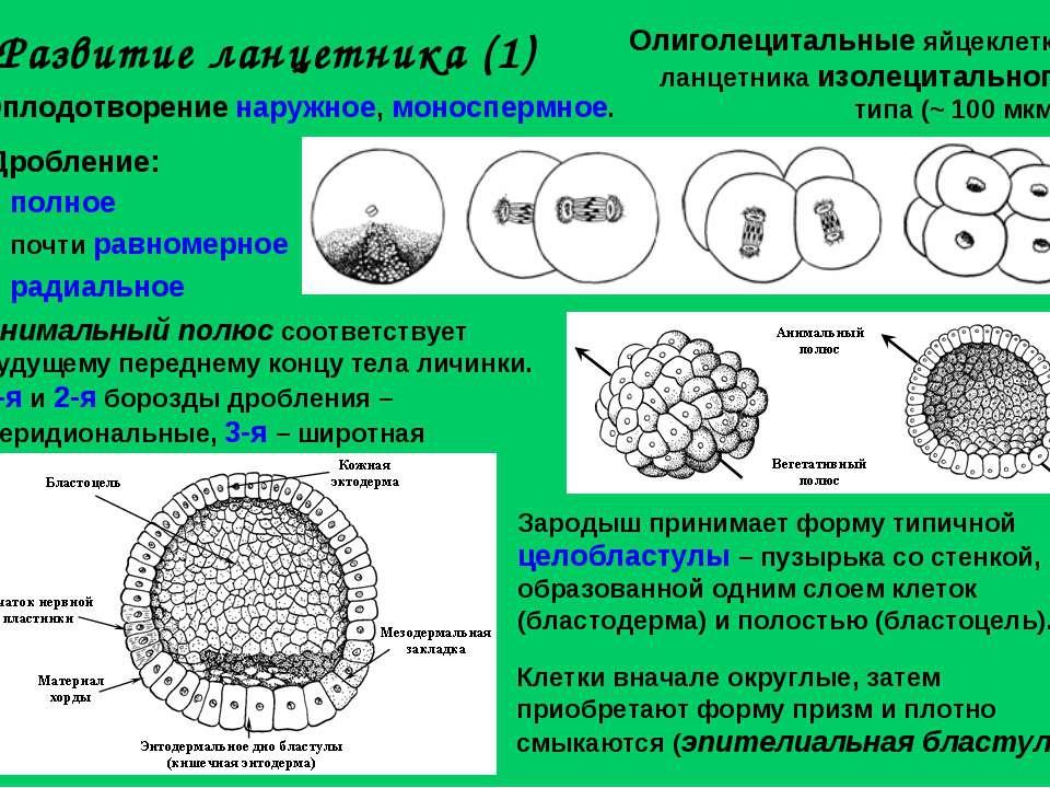 Развитие ланцетника (1) Олиголецитальные яйцеклетки ланцетника изолецитальног...