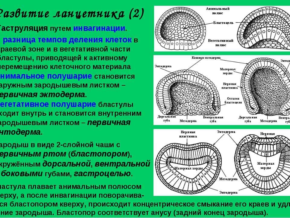 Развитие ланцетника (2) Гаструляция путем инвагинации. разница темпов деления...