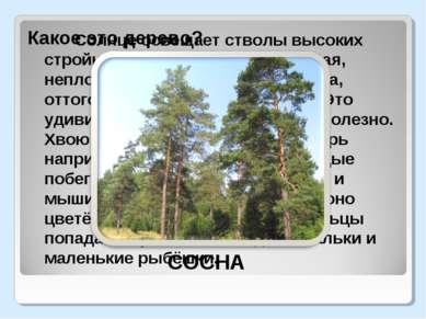 Солнце освещает стволы высоких стройных деревьев. Крона ажурная, неплотная, п...