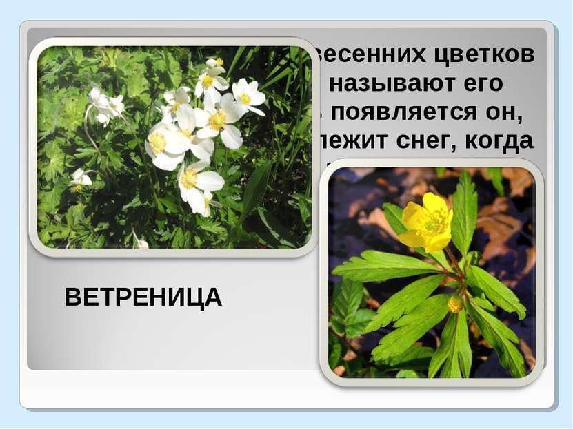 Один из ранних весенних цветков в нашем лесу. Часто называют его подснежником...