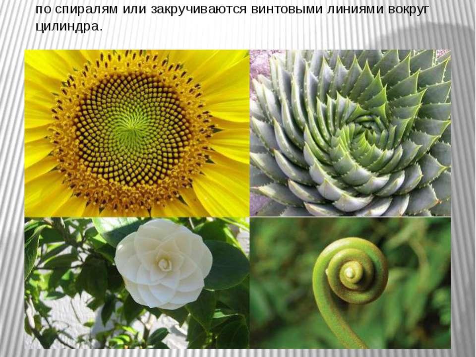 Золотая спираль Явление филлотаксиса Филлотаксисом называется своеобразное ре...