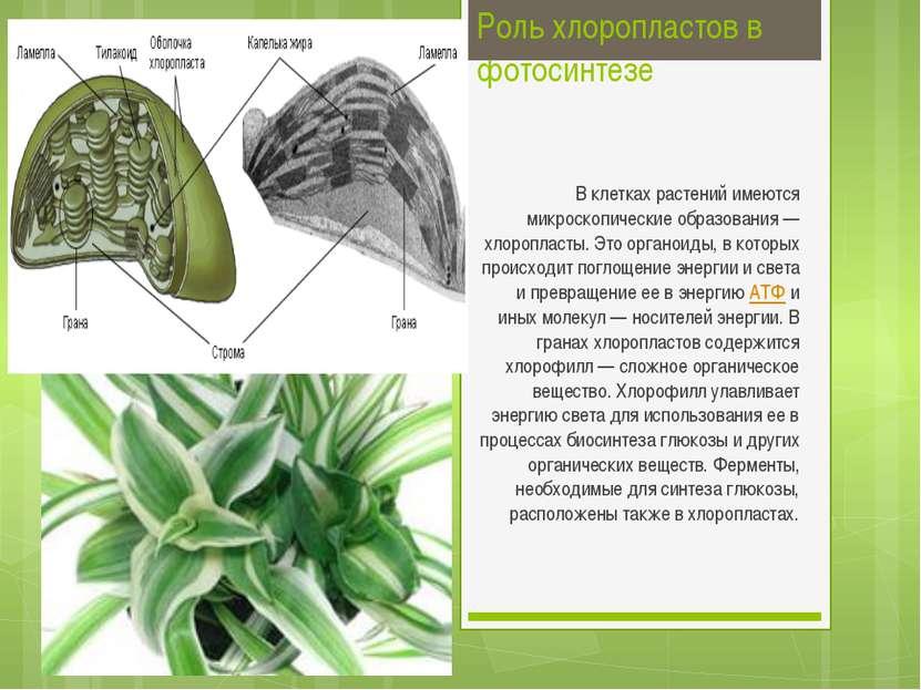 Роль хлоропластов в фотосинтезе В клетках растений имеются микроскопические о...