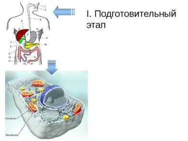 I. Подготовительный этап Пищеварительная система Лизосомы в клетках кровь