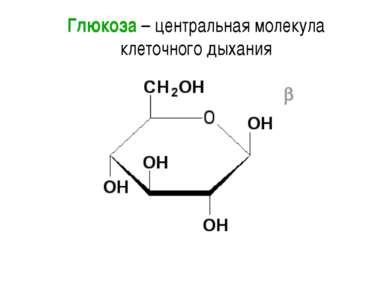 Глюкоза – центральная молекула клеточного дыхания С нее начинается путь к АТФ