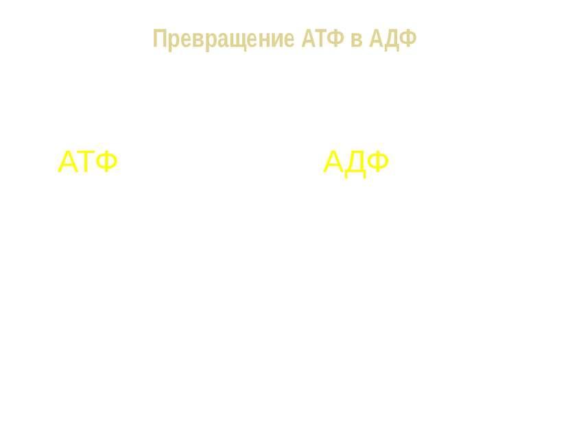 Превращение АТФ в АДФ АТФ + Н2О АДФ + Н3РО4